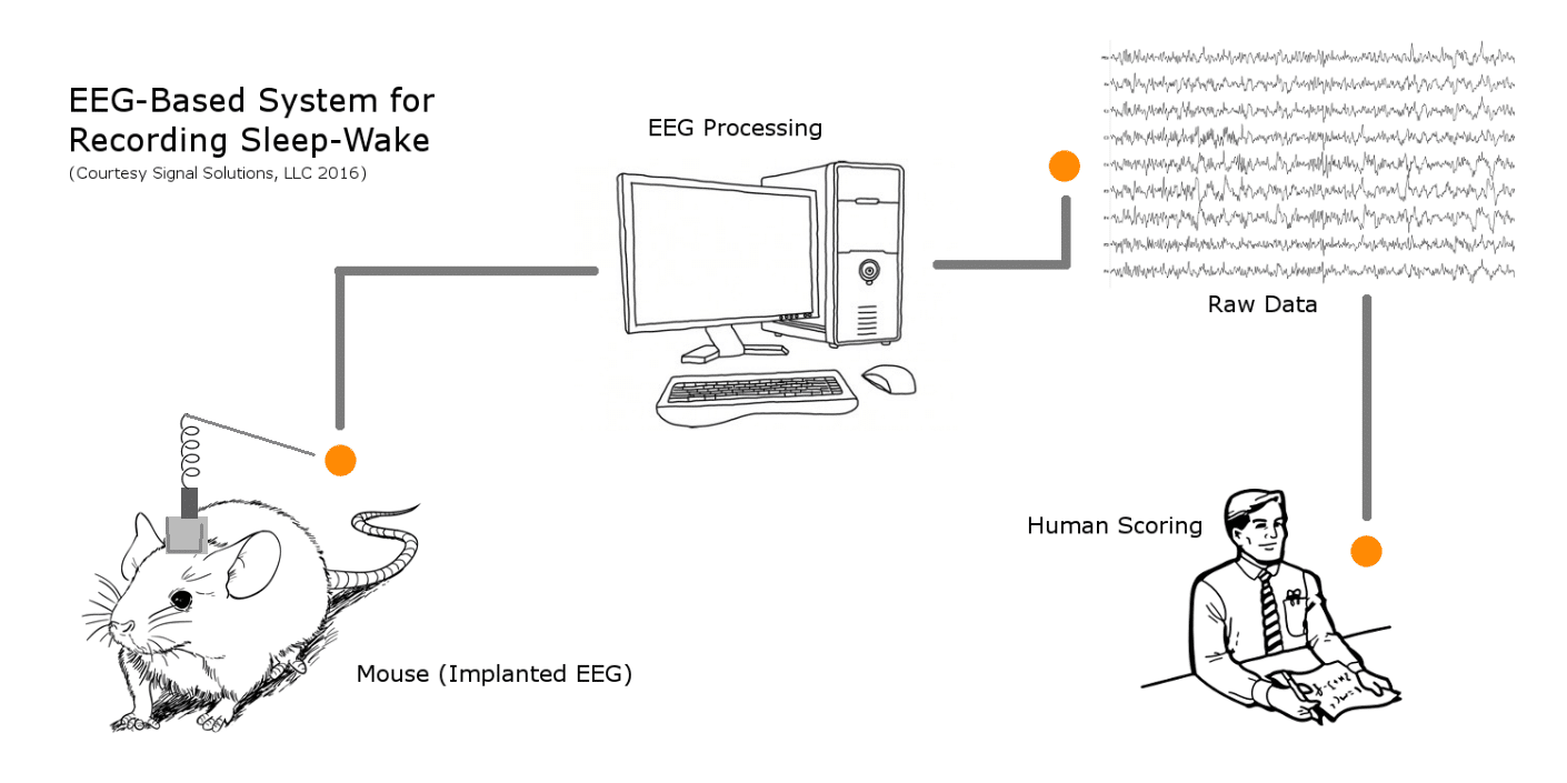 How EEG and EMG works in mouse